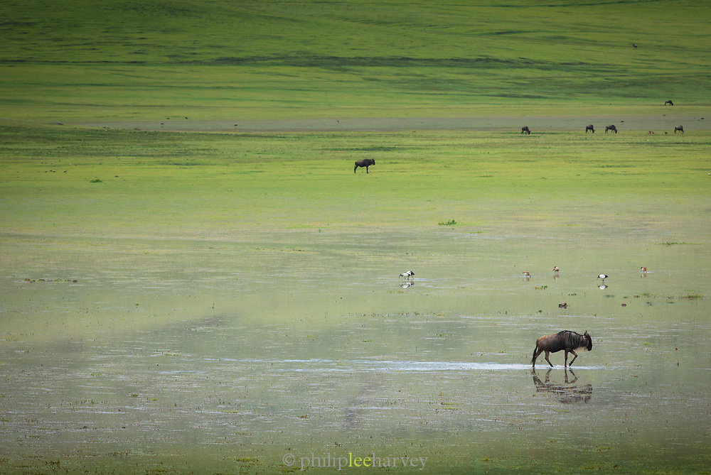 Nature photograph with distant view of wildebeest crossing the flooded plains of the Ngorongoro Conservation area, Tanzania