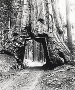 Road driven through the bole of a Californian Redwood tree given the name Wawona. Tree bole diameter 8.53m (28 ft) and height of 144.78m (275 ft). Photograph c1893.