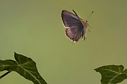 Long Tailed Blue Butterfly, Lampides boeticus, male, Controlled situation, UK, in flight, high speed flash techique