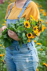 Picked bunch of sunflowers - Helianthus annuus 'Sonja'