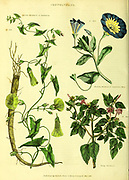 Convolvulus - Syrian Bindweed or Seammony, Trailing Bindweed, Jalap Bindweed from Vol 1 of the book The universal herbal : or botanical, medical and agricultural dictionary : containing an account of all known plants in the world, arranged according to the Linnean system. Specifying the uses to which they are or may be applied By Thomas Green,  Published in 1816 by Nuttall, Fisher & Co. in Liverpool and Printed at the Caxton Press by H. Fisher
