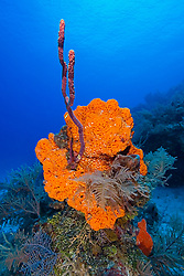 Orange Elephant Ear Sponge, Agelas clathrodes, Rope Sponge, Family: Demospongiae, and Sea Plumes, Family: Gorgoniidae, West End, Grand Bahamas, Caribbean, Atlantic Ocean