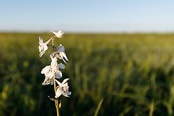 Prairie Larkspur (Delphinium carolinianum Walt. ssp. virescens (Nutt) Brooks) in Blackland Prairie at Clymer Meadow Preserve, Texas Nature Conservancy, Greenville, Texas, USA.