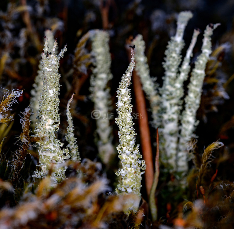 Dragon cup lichen (Cladonia squamosa) from western Norway.