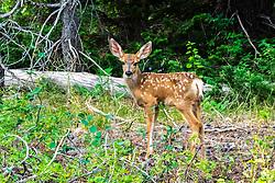 Mule deer fawn in Jackson Hole Wyoming; spring time in the Teton Range.