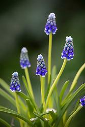 Muscari armeniacum 'Touch of Snow' - Grape hyacinth