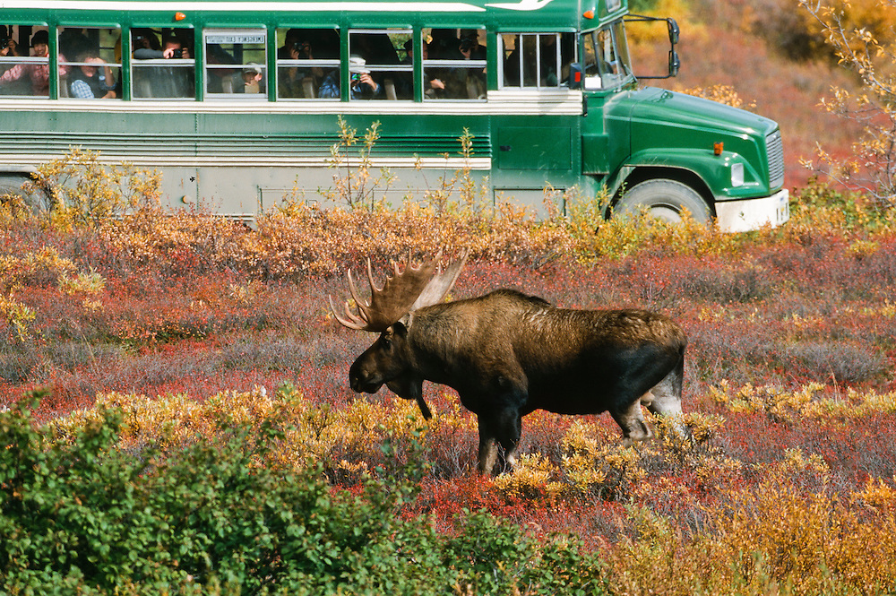 Alaska, On the Denali National Park road a bus stops to look at a bull moose foraging for food.