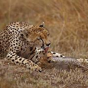 Cheetah, (Acinonyx jubatus) Mother grooming self as cubs sleep. Masai Mara Game Reserve. Kenya. Africa.