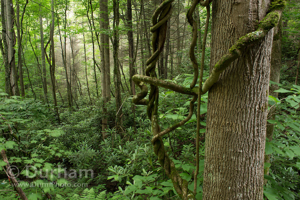 Woods in the Cherokee National Forest near Sugarloaf Creek, Tennessee.