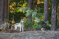 Wild gray wolf in British Columbia