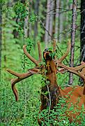 Elk Eating Aspen Leaves - Banff N.P. Alberta, Canada.