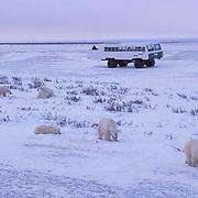 Polar Bear, (Ursus maritimus) Tundra Buggy with tourists following polar bears to photograph. Cape Churchill. Churchill, Manitoba. Canada.