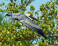 Brown Pelican (Pelecanus occidentalis). Fort De Soto Park. Pinellas County, Florida. Image taken with a Nikon D300 camera and 600 mm f/4 VR lens.
