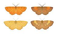Orange Moth - Angerona prunaria<br /> 70.230 (1924)