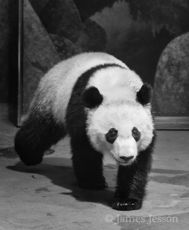 panda at zoo photograph