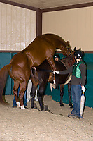 Breeding thoroughbreds (stallion is Distorted Humor and mare is Icelips), Winstar Farm (thoroughbred horse farm), Versailles (near Lexington), Kentucky USA