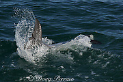 Hector's dolphin, Cephalorhynchus hectori, slapping water with tail, Endangered Species, endemic to New Zealand, Akaroa, Banks Peninsula, South Island, New Zealand ( South Pacific Ocean )