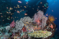Reef fish, healthy Hard and Soft Corals.<br /> <br /> This is what a healthy coral reef looks like.<br /> <br /> Shot in Indonesia