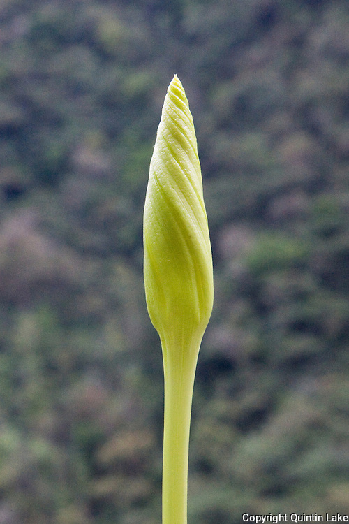 Morning glory spiral bud next to the Interoceanic Highway in the Peruvian Andes. The flower typically lasts for a single morning and dies in the afternoon