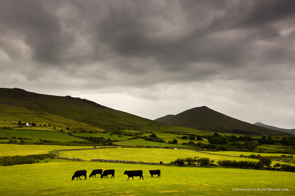 Under a blanket of  Welsh grey sky, five Welsh Blacks graze in a line of lush-green, whilst a small white Welsh cottage provides scale, contrast and control.
