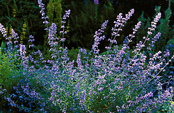 Nepeta 'Six Hills Giant'<br /> catmint