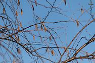 Birch | Beginning