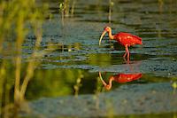 A Scarlet Ibis (Eudocimus ruber) in the mudflats of the orinoco River Delta, Venezuela.