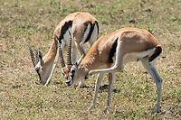 A Thomson's Gazelle, Eudorcas thomsonii, scratches its neck while grazing in Ngorongoro Crater, Ngorongoro Conservation Area, Tanzania