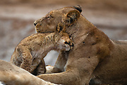A lion cub(Panthera leo)  gently rubs its head with its mother in affection while resting at a water hole, Savuti, Botswana
