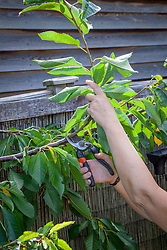 Pruning a cherry tree. Removing a side shoot with secateurs.