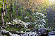 66745-04015 Dogwood trees in spring along Middle Prong Little River, Tremont area, Great Smoky Mountains National Park,TN
