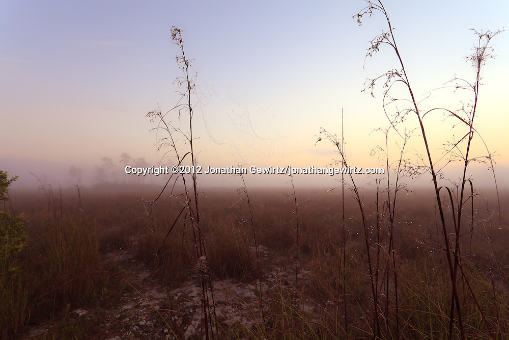 Dew-covered stalks and spider webs on a foggy morning on the sawgrass prairie in Everglades National Park, Florida. WATERMARKS WILL NOT APPEAR ON PRINTS OR LICENSED IMAGES.