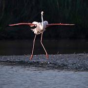 Greater Flamingo, in flight, Pont de Gau Bird Park, France