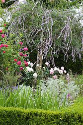 Buddleia alternifolia in a corner of the Rose Garden at Sissinghurst Castle