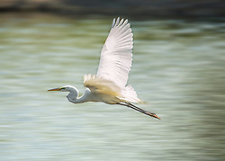 A white Egret flies over the pond looking for a morning meal