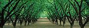 Hazel Nut Orchard