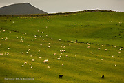 Two Welsh Blacks contrast sharply against the lush green of the Welsh hillside, whilst a huge white cow disguises itself as a large fluffy sheep to access their pasture :-)