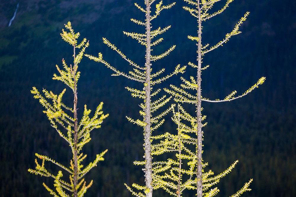 Detail of alpine larches (Larix lyallii) turning yellow on the trail to Blue Lake, North Cascades Scenic Highway Corridor, Washington.
