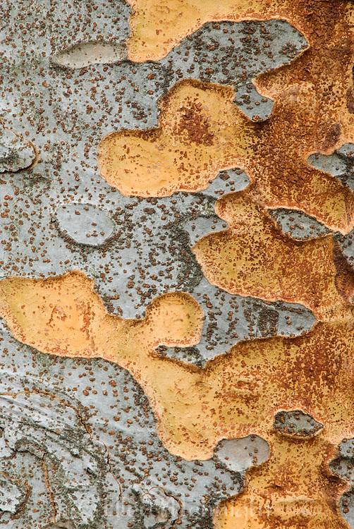 Bark from Chinese Zelkova Tree