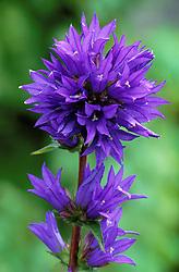 Campanula glomerata 'Superba'<br /> Clustered bellflower