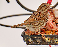 Song Sparrow (Melospiza melodia). Image taken with a Fuji X-H1 camera and 100-400 mm OIS lens.