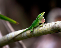 05 June 2014. Jean Lafitte National Historic Park, Louisiana.<br /> An anole lizard displays a warning sign to rivals.<br /> Charlie Varley/varleypix.com