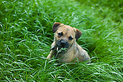 Border Terrier puppy dog, Oxfordshire, The Cotswolds, UK