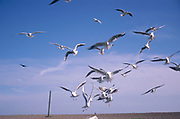 A3A8G5 Sea gulls flying around a beach looking for scraps of food