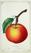 The Wagener (also called Wagener Price and Wagoner) is a cultivar of the domesticated apple. It was first farmed in 1791 in New York, and is the parent of the Idared and, possibly, the Northern Spy. Despite the early popularity of the Wagener, it is no longer widely grown. Apple Variety from Dewey's Pocket Series ' The nurseryman's pocket specimen book : colored from nature : fruits, flowers, ornamental trees, shrubs, roses, &c by Dewey, D. M. (Dellon Marcus), 1819-1889, publisher; Mason, S.F Published in Rochester, NY by D.M. Dewey in 1872