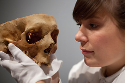 © Licensed to London News Pictures. 18/10/2012. LONDON, UK. A Museum of London employee examines a dissected skull at the launch of a new exhibition at the museum in London today (18/10/12). The exhibition, entitled 'Doctors Dissection and Resurrection Men' runs from 19th October - 14th April 2013 and includes remains previously used for medical dissection that were found during archeological digs at the Royal London Hospital in Whitechapel.   Photo credit: Matt Cetti-Roberts/LNP