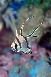 Banggai cardinal fish (c), Pterapogon .kauderni, found only around Banggai Island .off Sulawesi, Indonesia, severely threatened .by aquarium trades, Indo-Pacific Ocean.