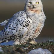 Snowy Owl (Nyctea scandiaca) female adult at a nest. Barrow, Alaska