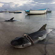 Shark fishing on the beach in Tamarin.