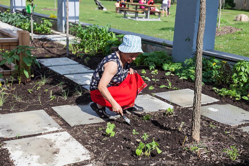Global Roots community gardens program at the Stop's Green Barn, Wychwood barns, Toronto